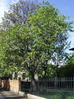 Ulmus carpinifolia, Feldulme