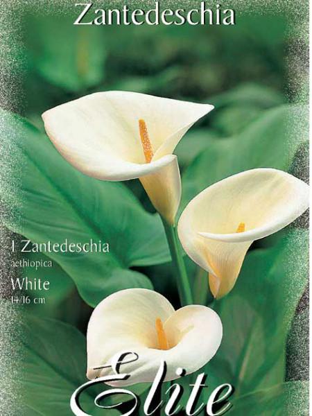 Calla 'White', Zantedeschia (Art.Nr. 522150)