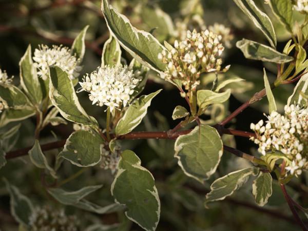 Blatt und Blüte des Weißbunten Hartriegels