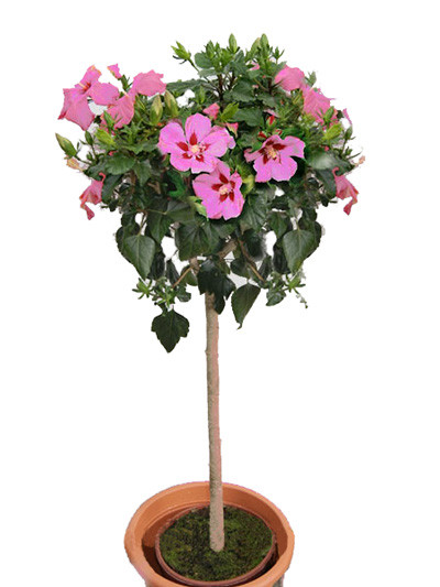 Hibiskus Woodbridge Garteneibisch