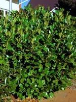 Prunus laurocerasus 'Rotundifolia', Kirschlorbeer