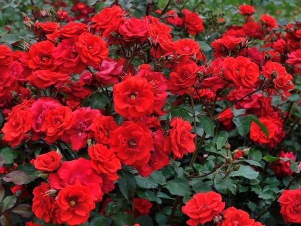 Strauch der Rose Brillant Korsar