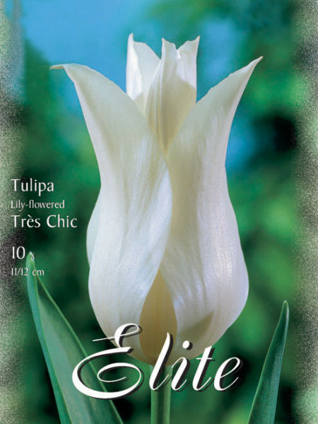 Lilienblütige Tulpe 'Tres Chic' (Art.Nr. 595483)
