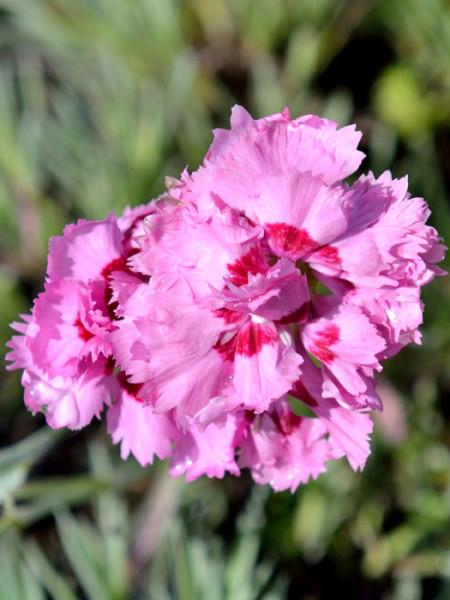 Dianthus plumarius 'Maggie', Federnelke