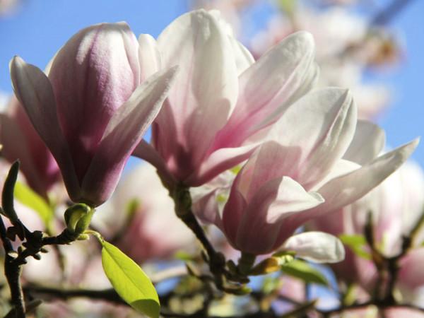 Tulpen-Magnolie Pflanze