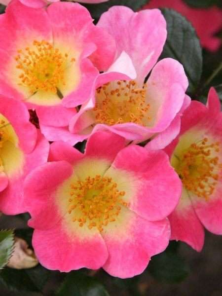 Rose Topolina Blütenstande