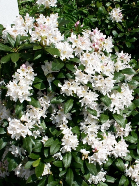 Rhododendron 'Cunningham's White' INKARHO®