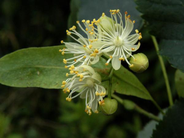 Tilia cordata, Winterlinde