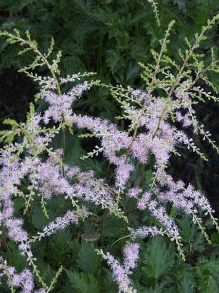 Zierliche, lockere Blüte der Gartenspiere 'Sprite'