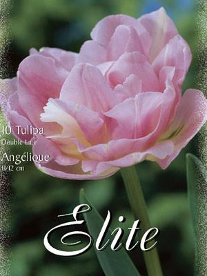 Gefüllte späte Tulpe 'Angèlique' (Art.Nr. 595404)