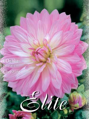 Schmuck-Dahlie 'Christine', Dahlia (Art.Nr. 520136)