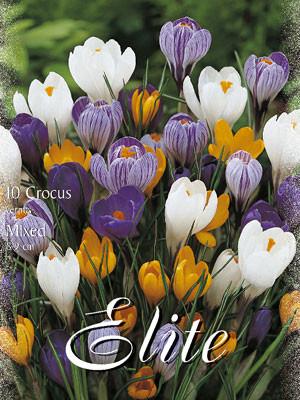 Großblumiger Gartenkrokus - Prachtmischung (Art.Nr. 596280)