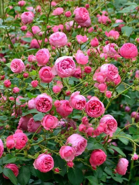 Blüten der Rose Pomponella