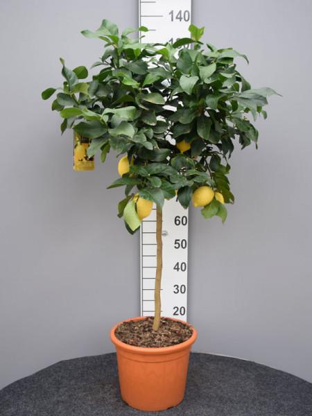 Citrus limonum, Zitronenpflanze