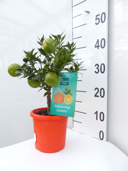 Orangenbaum 'Chinotto' - Orange Time®
