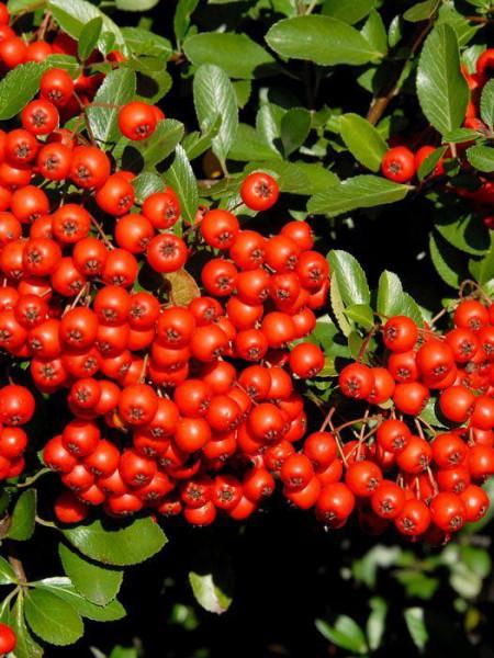 Rotfruchtiger Feuerdorn Beeren