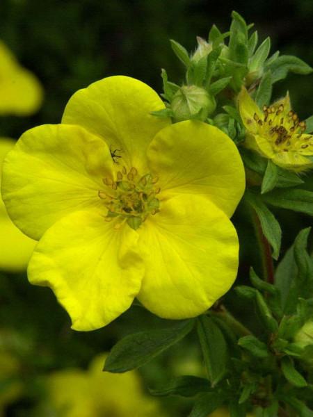 Fünffingerstrauch Goldfinger Blüte