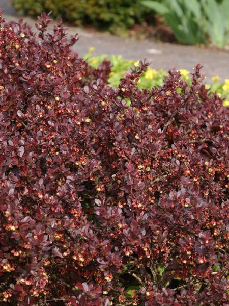 Rote Zwergberberitze als Heckenpflanze