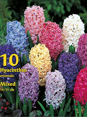 Hyazinthen-Prachtmischung (Großpackung) (Art.Nr. 597432)