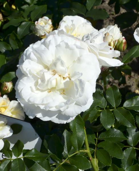 Rose Kosmos ® - Kordes