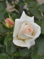 Rose Schneewalzer ® - Kordes