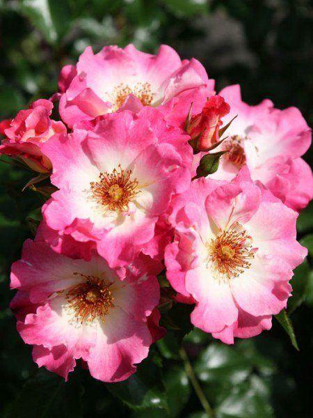 Blüten der Rose Dolomiti