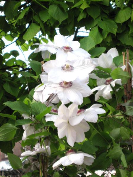 Blüten der Clematis 'Miss Bateman'