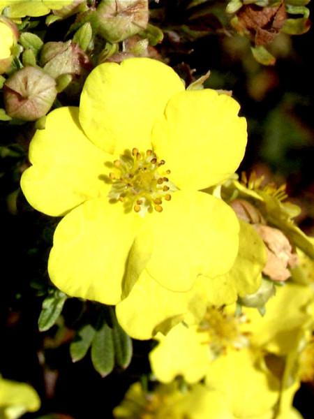 Potentilla Goldteppich Blüte