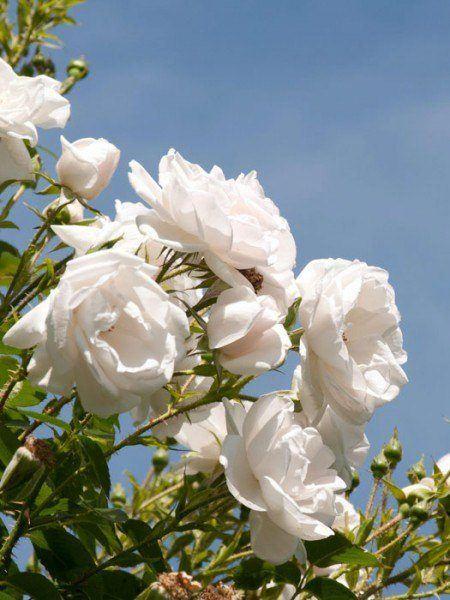 Blühende Rose Hella