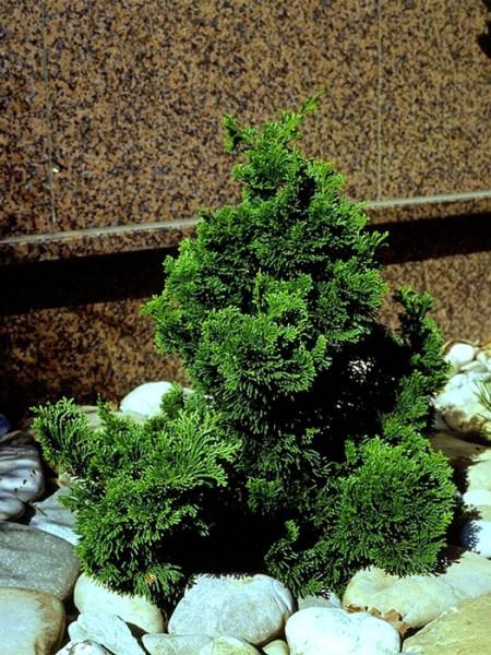 Die kleine Muschelzypresse im Steingarten