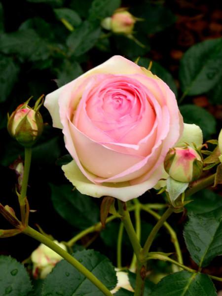 Blüte der Rose Eden Rose 85