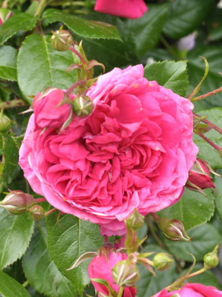 Blüte der Rose Laguna