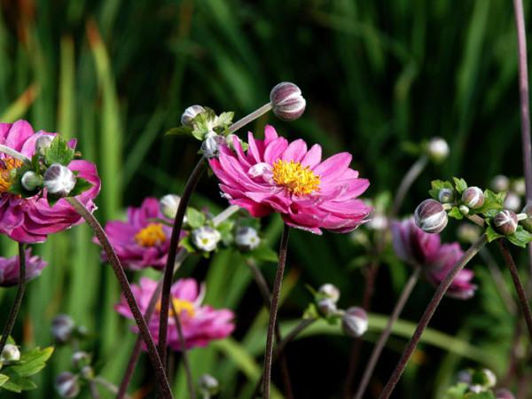 Die Herbstanemone 'Pamina' in voller Blüte