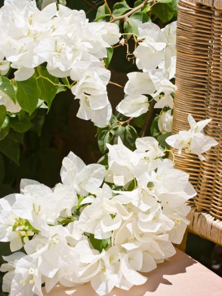 Bougainvilleablüte in Weiß