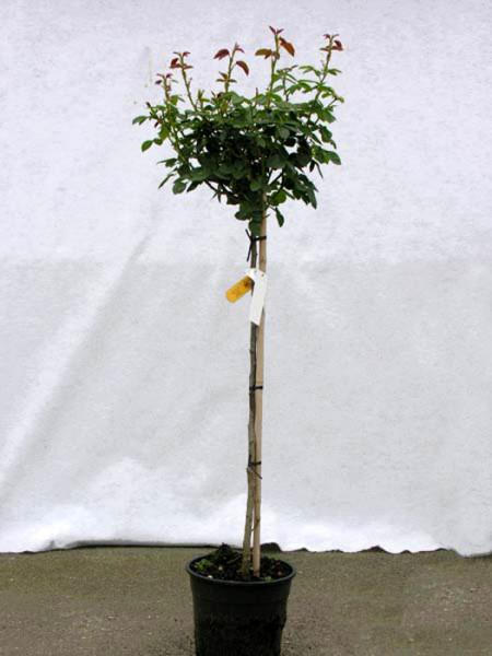 Rosen-Stämmchen Eden Rose 85 ® - Meilland