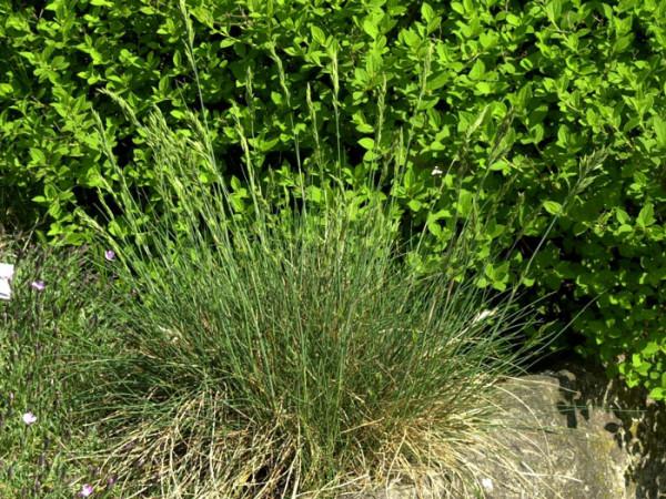 Festuca amethystina, Amethyst-Schwingel, Regenbogen-Schwingel