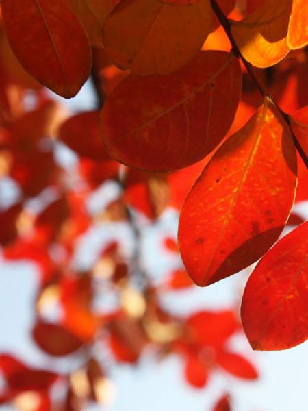 Der Hartriegel 'Cherokee Brave' mit Herbstfärbung