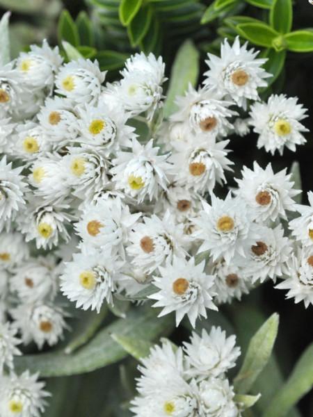 Weiße Blütenpracht des Perlkörbchens 'Sommerschnee'