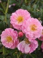 Rose Magic Meidiland ® - Meilland