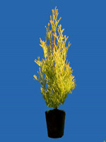 Thuja occidentalis 'Golden Smaragd®',Lebensbaum