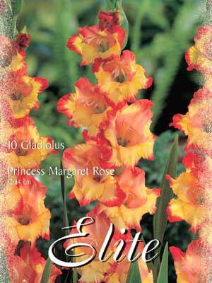 Großblumige Gladiole 'Princess Margaret Rose', Gladiolus (Art.Nr. 521302)