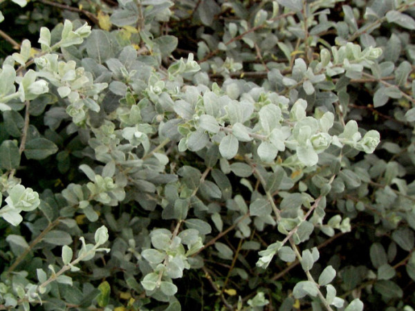 Salix repens argentea, Kriechweide