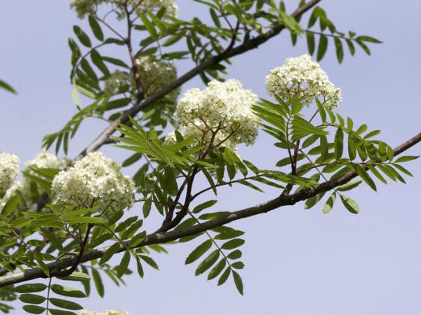 Sorbus aucuparia 'Fastigiata', Säulen-Eberesche