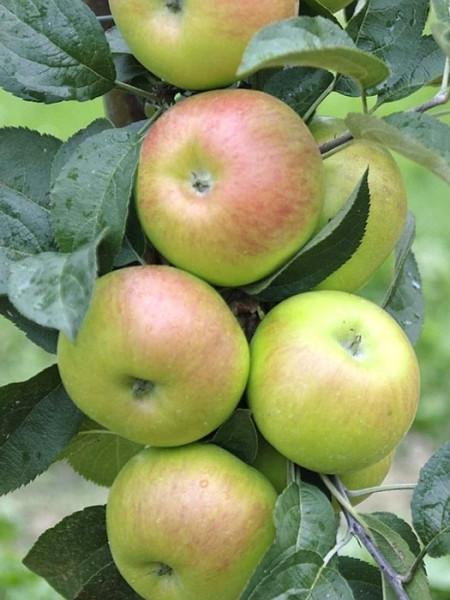 Üppiger Fruchtbehang mit dem Apfel Brettacher
