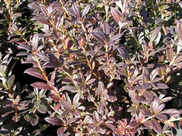 Rhododendron viscosum 'Lollipop', sommergrüne japanische Gartenazalee