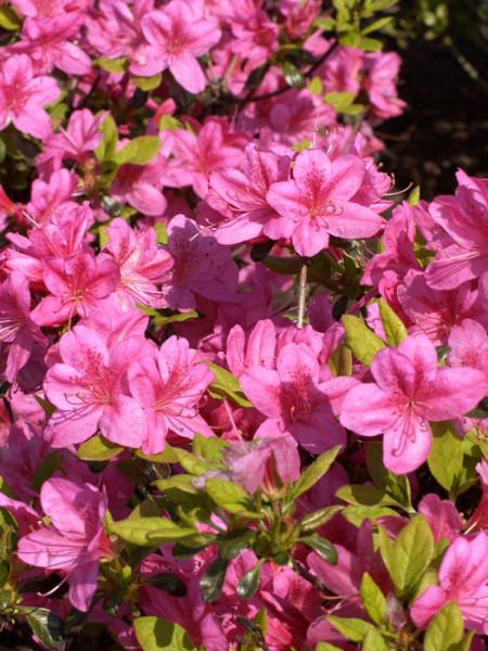 Rhododendron obtusum 'Rosalind', wintergrüne japanische Gartenazalee