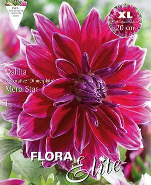 Schmuck-Dahlie 'Mero Star', Dahlia (Art.Nr. 520169)