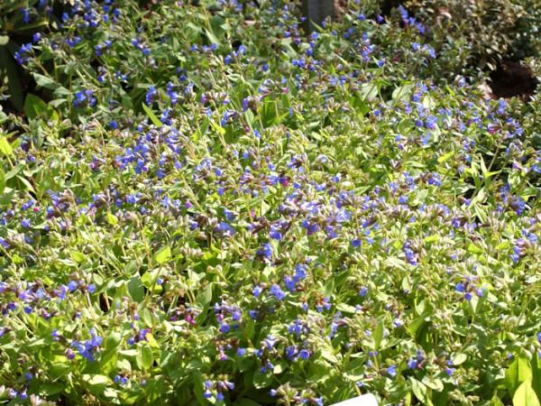 Blaues Lungenkraut Azurea Bodendecker
