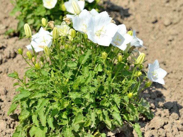Campanula carpatica 'Weiße Clips', Karpatenglockenblume, Gartenglockenblume