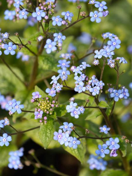 Brunnera macrophylla 'Looking Glass', silberlaubiges Kaukasus-Vergissmeinnicht